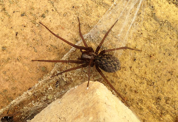 Edderkop i den lille have